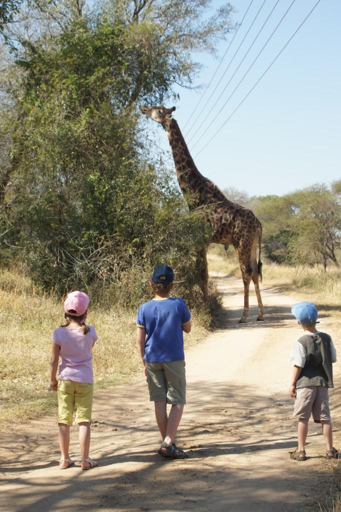 South African Airlines, KPRN, Giraffe, Kinder, Wüste, Baum