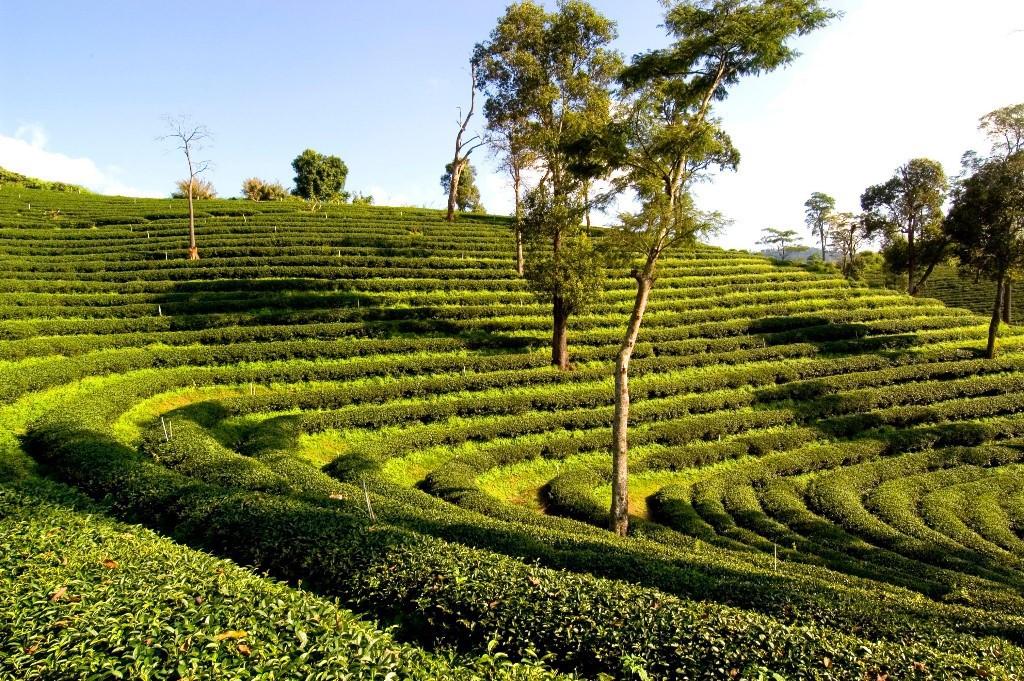 Thailand_Teeplantagen_Grün_KPRN