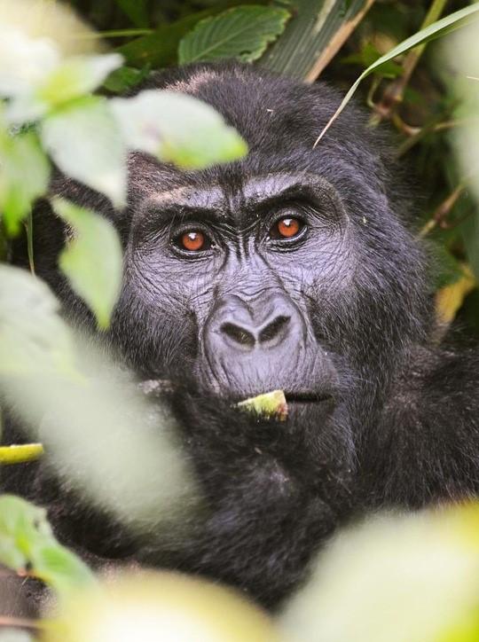 Uganda_Gorilla_© Peter Hogel