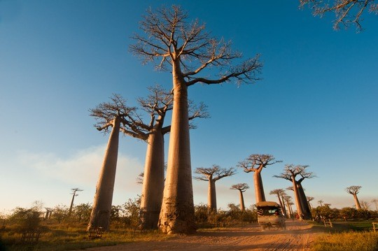 Madagaskar_Baobab Allee