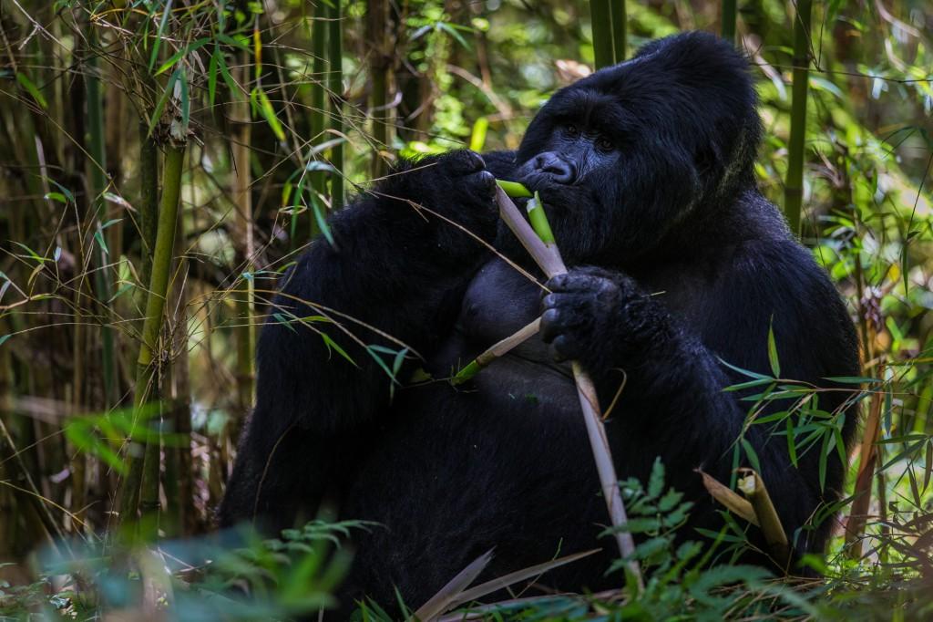 Uganda_Berggorilla