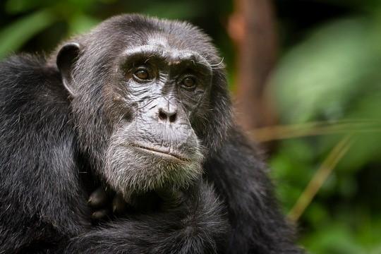 Chimp © Uganda Tourism Board