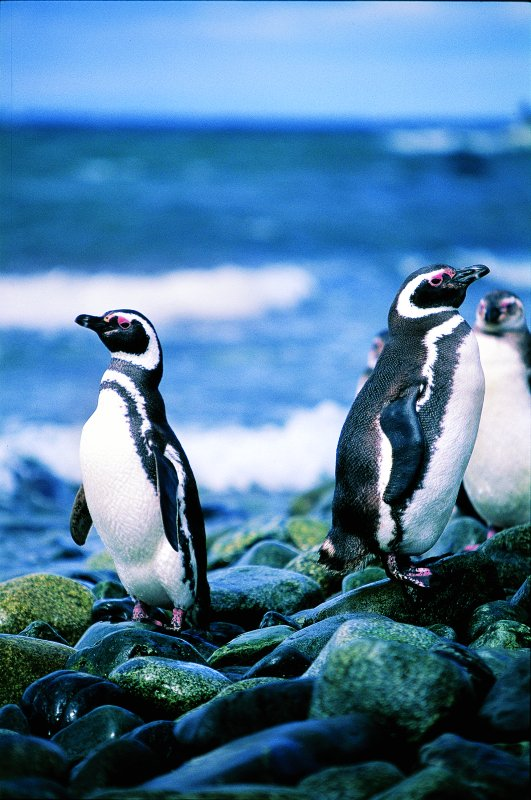 Penguin colony, Magdalena island, Magellan strait, Chilean Patagonia