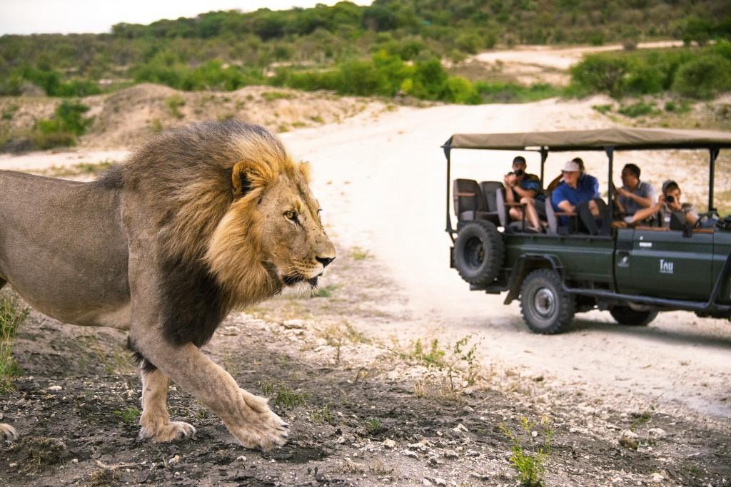 SAT_Safari_Pirschfahrt mit Löwe